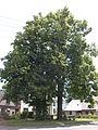 Žamberk-dvě-lípy-velkolisté-památné-stromy2008.jpg