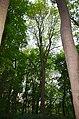 Айлант високий, вулиця Лесі Українки, 83.jpg