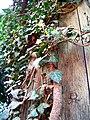Декоративный плющ на старом заборе - panoramio.jpg