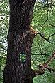 Дуб Петра Могили, кв. 3 виділ 15 02.jpg
