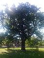 Дуб черешчатий (Херсон,Шевченківський парк).jpg