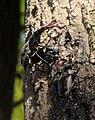 Жуки-олені розмноження та годівля 09.jpg
