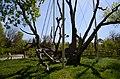 Запорозький 700-річний дуб (2017).jpg