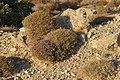 Красивый куст. Toplou. Lasithi. Crete. Greece. Август 2013 - panoramio.jpg