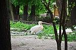 Пелікан рожевий у Київському зоопарку. Фото 2.jpg