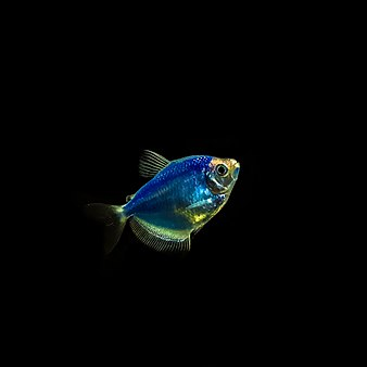 Сияющая рыба (Cosmic blue tetra fish).jpg
