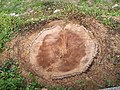 Споменик природе Лалино дрво - пањ.jpg