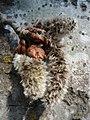 Трепетлика - съцветия (мъжки реси).jpg