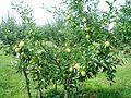 Ябълки - panoramio.jpg