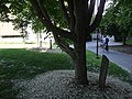 கெண்டகி மஞ்சள் மரத்தின் அடிமரக்-கிளைப்பு Yellowwood trunk.jpg