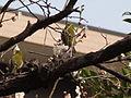 ウグイス(鶯)(Cettia diphone)-02 (6058080390).jpg