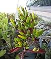 光萼荷屬 Aechmea fosteriana -新加坡濱海灣花園 Gardens by the Bay, Singapore- (24327413544).jpg