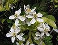 墨西哥橘 Choisya ternata Sundance -比利時國家植物園 Belgium National Botanic Garden- (9229858618).jpg
