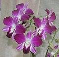 太空秋石斛 Dendrobium phalaenopsis -香港北區花鳥蟲魚展 North District Flower Show, Hong Kong- (9198129073).jpg