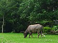 小牛和牛背鷺 - panoramio.jpg