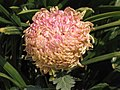 日本厚物菊 Chrysanthemum morifolium Japanese-spoon-series -香港圓玄學院 Hong Kong Yuen Yuen Institute- (9255190892).jpg