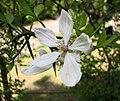 枳 Poncirus trifoliata -日本大阪長居植物園 Osaka Nagai Botanical Garden, Japan- (41419646325).jpg