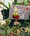 樹蘭屬 Epidendrum porpax -香港沙田洋蘭展 Shatin Orchid Show, Hong Kong- (31387900611).jpg