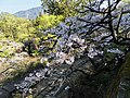 櫻花鐵道 Sakura Railway - panoramio (2).jpg