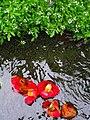 水路の落ちツバキP4022340.jpg