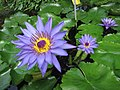 睡蓮 Nymphaea Director G T Moore -比利時國家植物園 Belgium National Botanic Garden- (9198100925).jpg