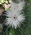 石竹屬 Dianthus monspessulanus -維也納高山植物園 Belvedere Alpine Garden, Vienna- (29125105985).jpg