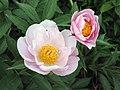 芍藥-雨落幽燕 Paeonia lactiflora -揚州瘦西湖 Yangzhou, China- (12403890523).jpg