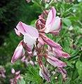 芒柄花屬 Ononis fruticosa -維也納高山植物園 Belvedere Alpine Garden, Vienna- (29153850942).jpg