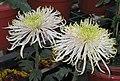 菊花-冰雪梅花 Chrysanthemum morifolium 'Icy Prune Flower' -中山小欖菊花會 Xiaolan Chrysanthemum Show, China- (11962013436).jpg