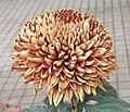 菊花-紫光燈 Chrysanthemum morifolium 'Purple Light Lantern' -香港圓玄學院 Hong Kong Yuen Yuen Institute- (12050153086).jpg