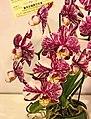 蝴蝶蘭 Phalaenopsis Fuller's C-Plus x Tainan White -台南國際蘭展 Taiwan International Orchid Show- (39129456000).jpg