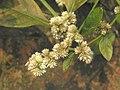 錦繡莧(毛蓮子草) Alternanthera bettzickiana -台北植物園 Taipei Botanical Garden- (9240251832).jpg