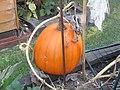 -2019-09-01 Field pumpkin, Trimingham, Norfolk (1).JPG