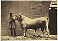 -Bull from Glane, Canton of Fribourg- MET DP281275.jpg
