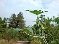 01773 - Ricinus communis (Wunderbaum).JPG