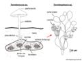 03 02 10 c 2e nido de termitas, Termitomyces sp., Termitosphaera sp., Agaricales Basidiomycota (M. Piepenbring).png