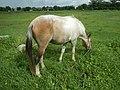 05559jfNative horses in grasslands Baliuag Bulacanfvf 28.jpg