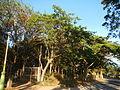 0581jfLandscapes Mabalas Diliman Salapungan Paddy fields San Rafael Bulacan Roadsfvf 10.JPG