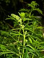 1024 Blauer Eisenhut (Aconitum napellus)-2048.jpg