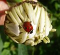 2-spot Ladybird - Flickr - gailhampshire.jpg