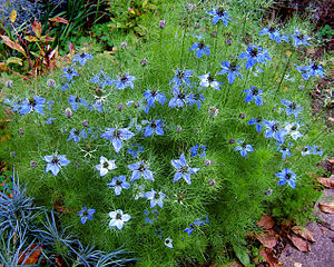 Love-in-a-mist, devil in the bush Español: Ara...