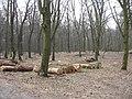 2009-04 Санітарними рубками намагаться знищити найцінніші дерева проектованого заказника Чернечий ліс (3).jpg