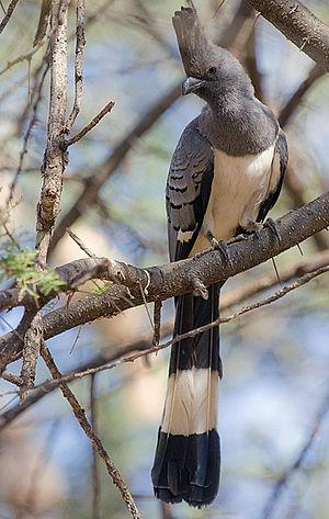 White-bellied go-away-bird - In Tarangire National Park