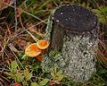 2011-09-16 Hygrophoropsis aurantiaca.jpg