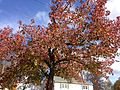 2014-11-02 11 20 01 Sweet Gum during autumn along Lanning Street in Ewing, New Jersey.JPG