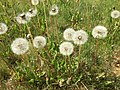 2015-05-01 15 12 03 Dandelion seed heads along South 9th Street in Elko, Nevada.jpg
