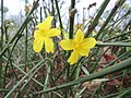 20151206Jasminum nudiflorum.jpg