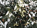 2016-02-15 09 42 13 A snow-covered, partially variegated evergreen bush along Springhaven Drive in the Franklin Glen section of Chantilly, Fairfax County, Virginia.jpg