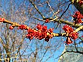 2016-03-02 17 22 36 Female Red Maple blossoms along McLearen Road (Virginia State Secondary Route 668) in Oak Hill, Fairfax County, Virginia.jpg