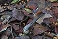 2016-11-29 Entoloma nigroviolaceum 699982.jpg